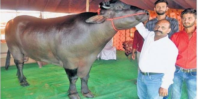 राजस्थान पुष्कर मेला / 14 करोड़ रुपए का भीमकाय भैंसा; 13 सौ किलो वजन, काजू-बादाम और मक्खन खाता है..