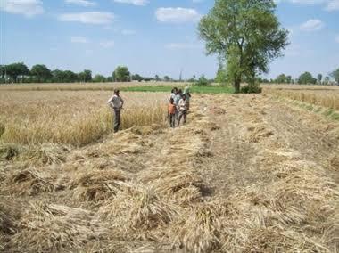बस्ती: नहीं आ रहे कंबाइन चालक, किसानों की चिता बढ़ी