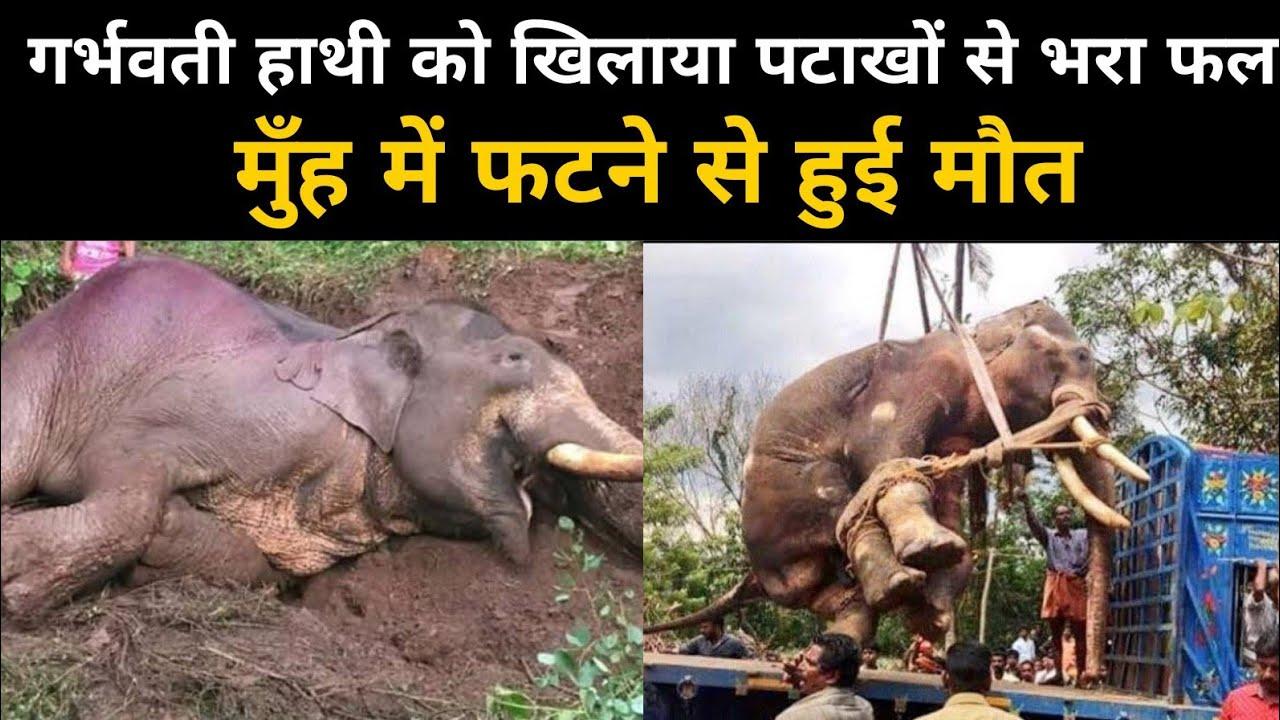 गांव वालों की शर्मनाक करतूत, प्रेग्नेंट हाथी के मुंह में फोड़ा बम